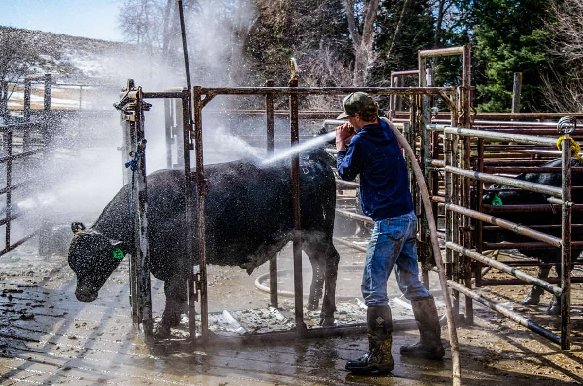 A cowboy pastor hoses down a cow.